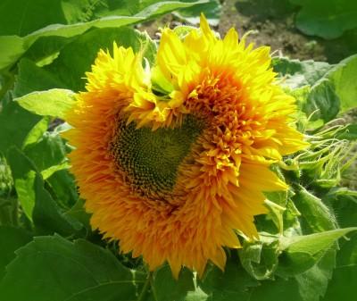 sun-flower-627456_1280